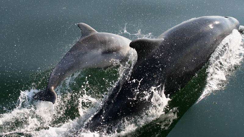 Haf the bottlenose dolphin with her calf Bubbles in Cardigan Bay
