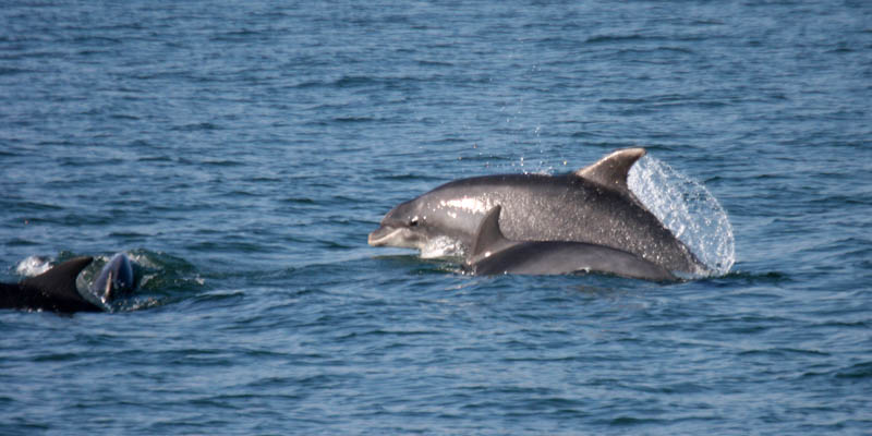 Haf the bottlenose dolphin in Cardigan Bay