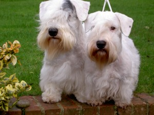 Adult Sealyham Terriers