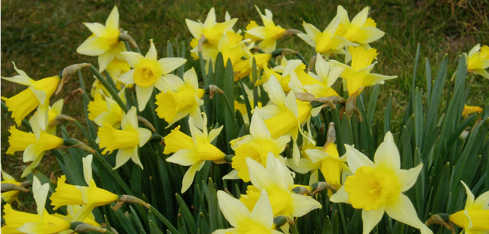 Cenhinen Pedr Peter S Leek The Welsh Daffodil The