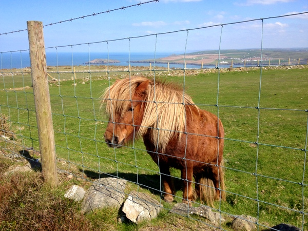 Pony at Cemaes Head Nature Reserve
