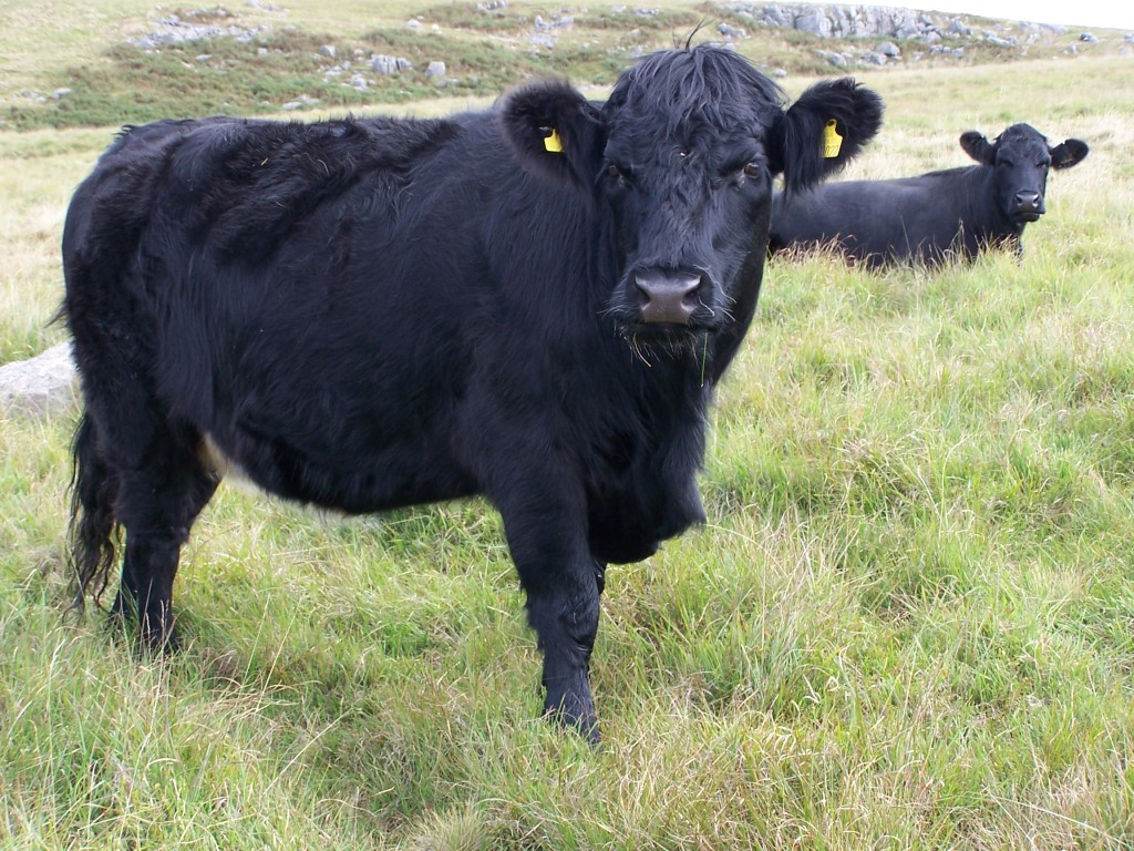 Welsh_Black_Cattle_Aberdare_Blog