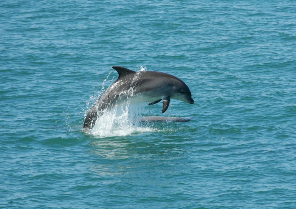 Bottlenose Dolphin leaping in Cardigan Bay