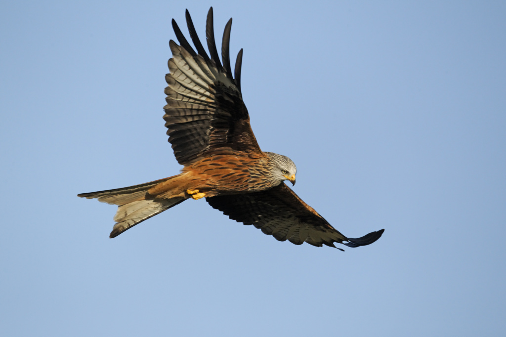 Red kite in flight over West Wales