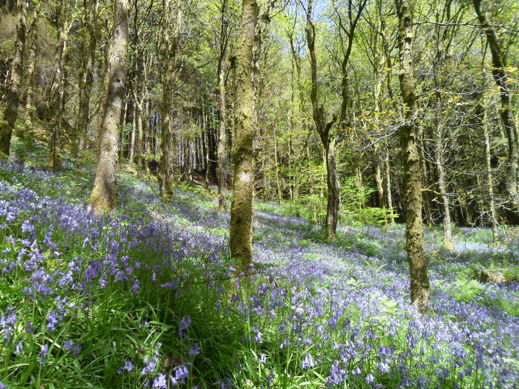 A carpet of bluebells in a woodland area