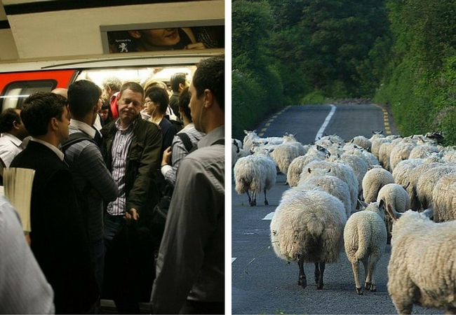 On the right, passengers on a tube in London, on the left a flock of sheep in the road