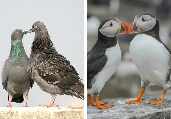 two pigeons kissing on the left, two puffins kissing on the right, love birds