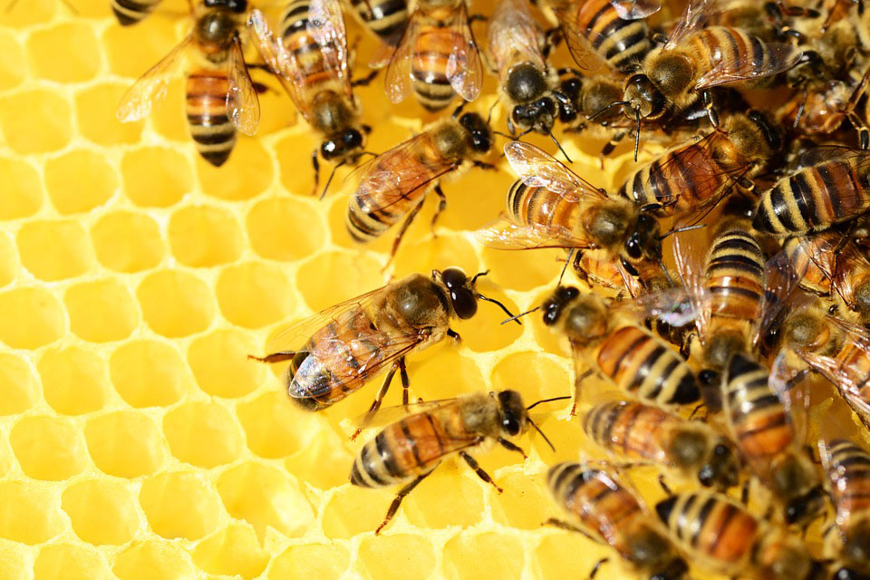 Honey bees in a bee hive on a honeyconb