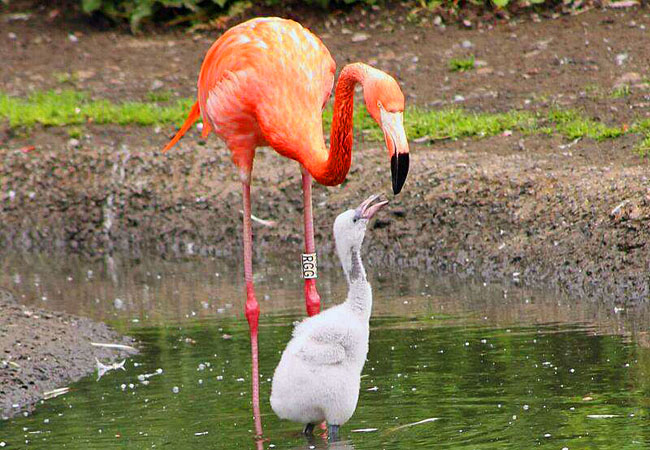 A flamingo stood in water looking down on its chick