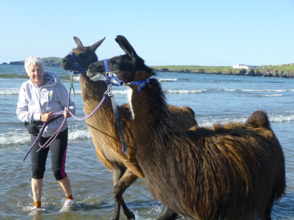 Ann Davies and her llamas, paddling in the sea under a blue sky at Poppit Sands