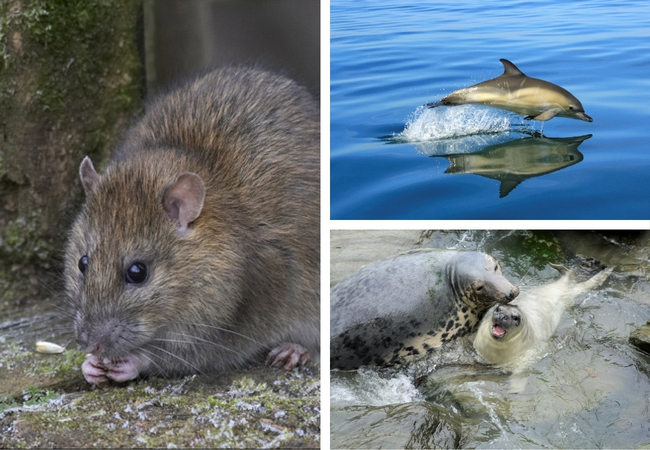 rat on the left and pictures of a dolphin and a seal with its pup on the right