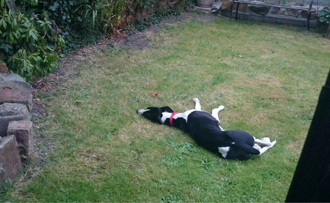 black and white whippet asleep in garden