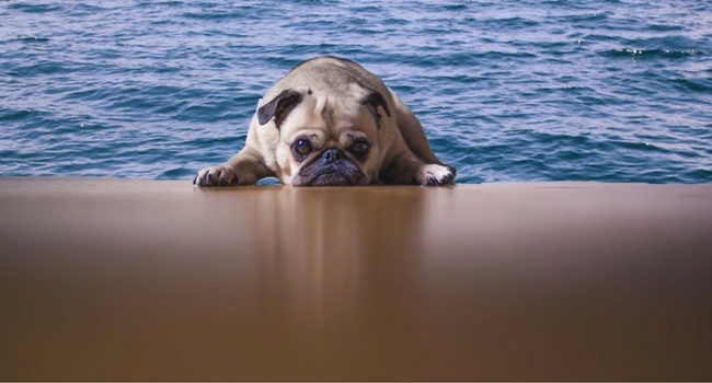 Pug lying on the beach with the sea behind