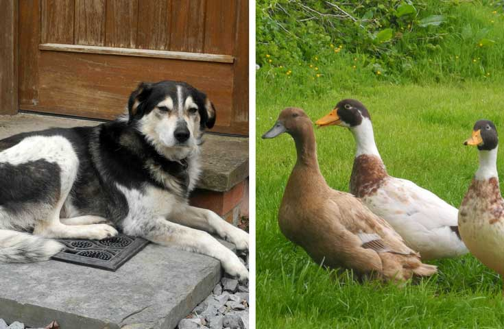 two images, one of a Ben, the collie at Trehyddion Longbarn on the left and 3 of the resident ducks in an image on the right