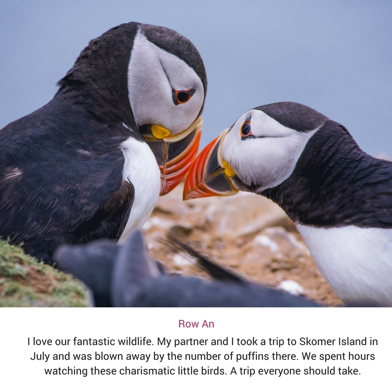 two Atlantic Puffins beak to beak