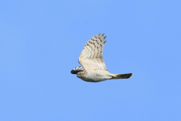 Birds Of Prey To See In West Wales West Wales Holiday Cottages