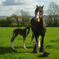 Photo of Dyfed Shire Horse Farm
