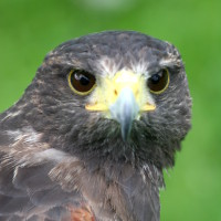 Photo of Pembrokeshire Falconry